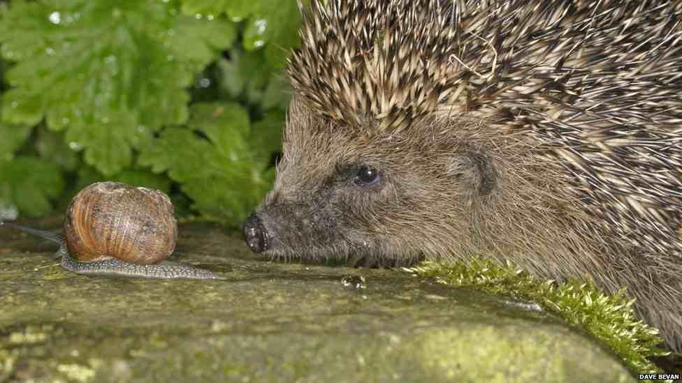 القنفذ Hedgehog - صور و معلومات عن القنفذ