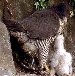 طائر الباز الجوّال Peregrine Falcon ، صور و معلومات عن الباز الجوال