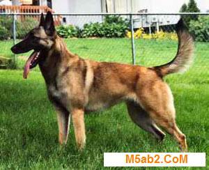 كلب المالينو صور ومعلومات عن كلاب مالينو من ويكيبيديا